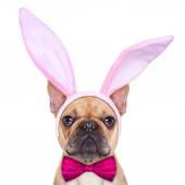 Bunny easter ears dog — Stock Photo