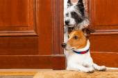 Nosy dogs at the door — Stock Photo