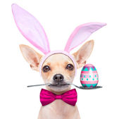 Easter egg bunny dog — Stock Photo