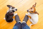 Two dogs and ower at home — Stock Photo