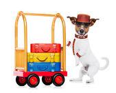 Bellboy dog — Stock Photo