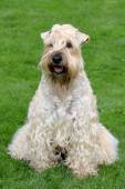 Divertente irish soft coated wheaten terrier — Foto Stock