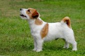 Puppy of Jack Russel Terrier  — Stock Photo