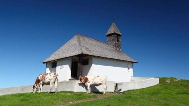 White and brown cows in the mountain pastures near the chapel — Stock Video