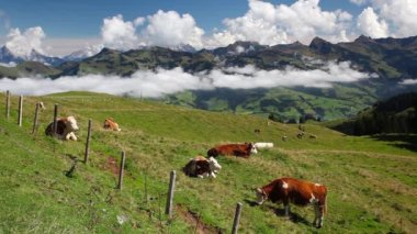 White and brown cows in the mountain pastures — Stock Video