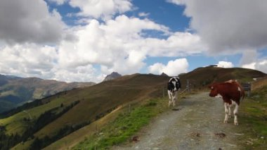 White and brown cows on the way in the mountain — Stock Video