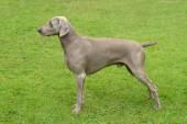 Typical Weimaraner Short-Haired dog — Stock Photo