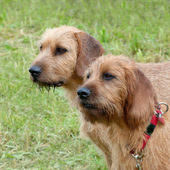 Two Carse Haired Styrian Hounds — Stock Photo