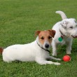 Two Jack Russell Terriers and red plastic toy — Stock Photo #59639575