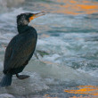 Portrait of Great Cormoran on the frozen river at sunrise — Stock Photo #66423425