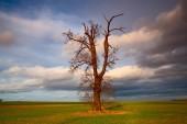 Memorial tree on the empty field before heavy storm — Stock Photo