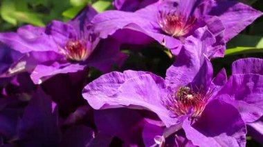 Honey bee on violet blooming clematis in the spring garden — Stock Video