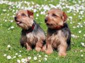 The portrait of pair Norfolk Terrier dogs — Stock Photo