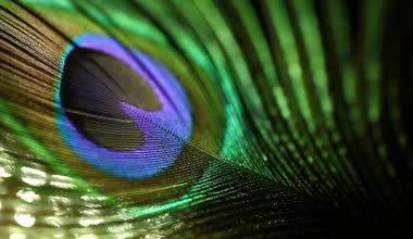 Closeup shot of peacock feather — Stock Video