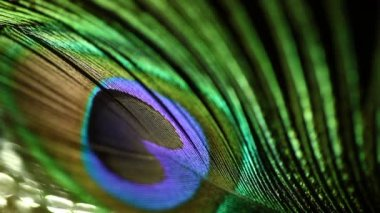 Closeup shot of peacock feather — Stock Video