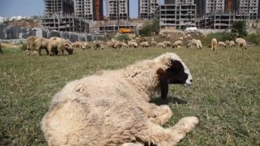 Sheep's in front of building — Stock Video