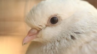 Closeup of white Pigeon in the cage — Stock Video