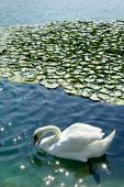 Swan and waterlilies — Stock Photo