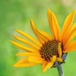 Jerusalem artichoke flower — Stock Photo #57691439
