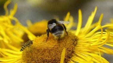 Bumblebee and Hoverflies gathering pollen — Stock Video