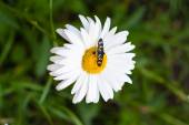 Daisy with a small insect — Stock Photo