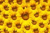 Blooming sunflower — Stock Photo