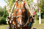 Horse in harness — Stock Photo
