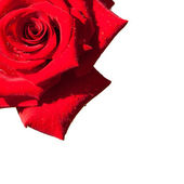 Red rose isolated — Stock Photo