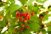 Planten van viburnum rode bessen in de boom — Stockfoto