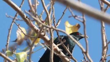 Asian Koel Male on tree — Stock Video