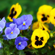 Blue and yellow tiny flowers — Stock Photo #71629975
