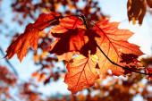 Oak leaves in autumn in back light — Foto Stock