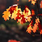 Sonbaharın altın güneşli ışığında meşe yaprakları — Stok fotoğraf
