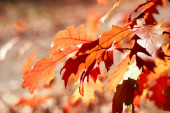 Oak leaves in autumn — Stock Photo