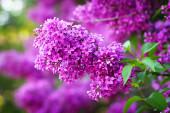 Kvetoucí Lila květy — Stock fotografie