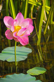 A beautiful wild waterlily or lotus flower in natural. — Stock Photo