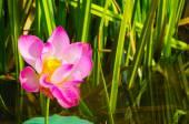 Una hermosa flor silvestre de nenúfar o lotus en natural. — Foto de Stock