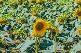 在该字段中的向日葵 — 图库照片