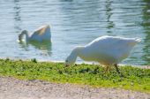Snow goose eating — Stock Photo