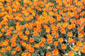 Orange tulip flowers — Stock Photo