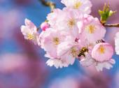 Bee at a Flowering Cherry Tree — Stock Photo