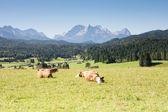 Lucky Cows — Stock Photo