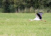 Flying White Stork — Stock Photo