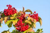 Dojrzałe czerwone jagody — Zdjęcie stockowe