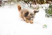 Tibetan Terrier Dog Catching Ball in Snow — Zdjęcie stockowe
