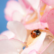 Ladybug Crawling on Pink Flower Blossoms — Stock Photo #62444935