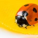Ladybug — Stock Photo #64070323