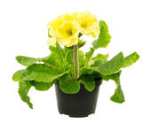 Isolated Yellow Primrose Flower — Stock Photo