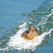 Duck landing with speed in the water — Stock Photo #70724927