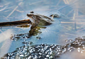 Frog and Frog Spawn — Stock Photo